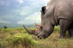 Protect Endangered Birds, Rhinos, and Tigers & Demand Justice for Abused Dogs: 10 Petitions You Should Sign This Week to Help Animals! (One Green Planet) Dark Planet, One Green Planet, Wild Animals Photography, Baby Rhino, Unlikely Friends, Trophy Hunting, Good Cause, China, Wild Horses