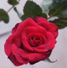 La bella rosa de Nalu ...