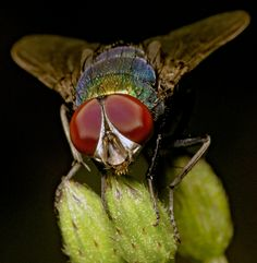 photo, bug, insect, Fly, red eyes, eye