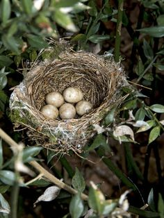Blackcap Nest with Five Eggs, Hampshire, England, UK  by Andy Sands