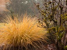 Sirocco pheasant tail grass keeps its bright coppery tones all winter with mossy Exbury azelea | finefoliage