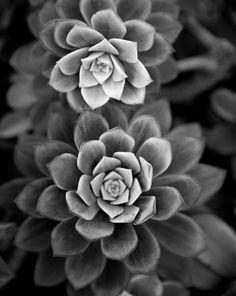 black and white fine art photography - In My Garden -  8x10 photograph of succulent plant. $25.00, via Etsy.
