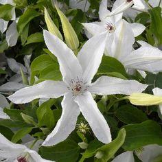 Clematis 'Beautiful Bride®' sur www.clematite.net
