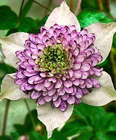 Clematis 'Viennetta' koop je bij online tuincentrum Bakker.com