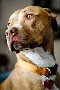 Uplifting So You Want A American Pit Bull Terrier Ideas. Fabulous So You Want A American Pit Bull Terrier Ideas. American Pit Bull Terrier, American Pitbull, Bull Terrier Dog, Pitbull Americano, I Love Dogs, Cute Dogs, Perros Pit Bull, Amstaff Terrier, Pit Bull Love