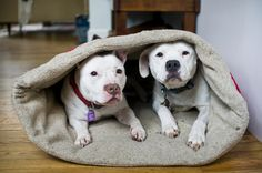 Look how adorable these Pitt Bull's are in their dog sleeping bag!
