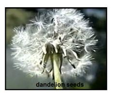 A nice video on this site showing the seed dispersal of a dandelion by wind. This is perfect for younger children. Science Fun, Science Ideas, Science Lessons, Teaching Science, Science For Kids, Life Science, Seed Dispersal, Second Grade Science, Dandelion Seeds