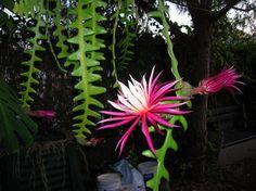 Cacto-sianinha (Selenicereus Anthonyanus) | Flores - Cultura Mix