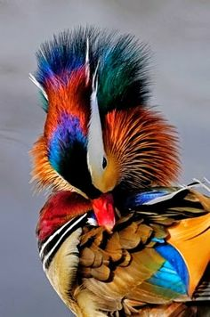 Mandarin Duck- such a colorful little thing, I think the peacocks have a run for their money