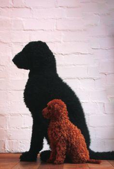 friends \ standard poodle AbraKadabra & toy poodle ContraForma