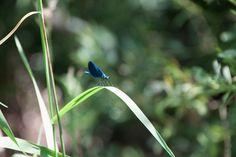 Eine Libelle - Dragon Fly - sitzt auf einem Grashalm Gras, Flyer, Animals, Pictures, Animales, Animaux, Animal, Animais
