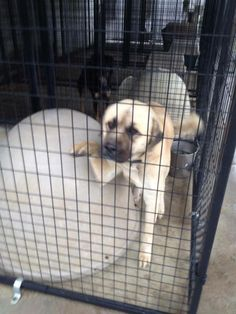 MURFREESBORO TENNESSEELouie is an extremely handsome young adult neutered male Anatolian Shepherd or Kangal Dog.  Est. DOB 6/18/12.  He is good with female dogs but we have not evaluated him with male dogs.  He is interested in cats but is not...