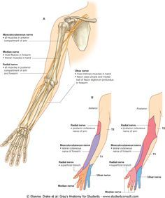 Musculocutaneous median and ulnar nerves in the arm (all about injury how to test) sholuder and back mussels involved. Ulnar Nerve, Spinal Nerve, Peripheral Nerve, Spinal Cord, Shoulder Injuries, Shoulder Muscles, Muscle And Nerve, Muscle Pain, Human Body