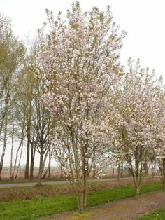 Prunus serrulata 'Sunset Boulevard'	 #tree #multitrunk #multistem www.vdberk.co.uk