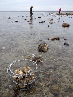 Oysters in Brewster, Cape Cod, Massachusetts
