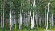 Aspen Grove Miller Mesa Colorado wallpapers and stock photos
