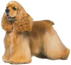 Cocker Spaniel - I had one of these when I was kid.  Such a sweet dog.