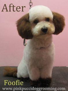 Toy Poodle Teddy Bear Cut Omg Sooo Cute Puppy Love
