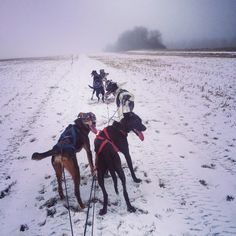 Des chiens, de la neige et du brouillard. Voici l'entraînement de ce matin ☺️☺️ #canada #saskatchewan #meadowlake #snowday #snow #pvt #pvtistes #whv #sleddogs #sled #dogs #white #instagood #instalove #instatravel #trip #helpx #view #fog #field