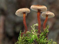 Nahuby.sk - Fotografia - lopatovka obyčajná Auriscalpium vulgare Gray