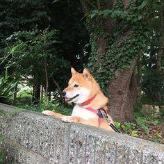 Pinを追加しました!/明日もまたお散歩楽しみましょうね。それでは、おやすみなさい #shiba #dog #komugi #柴犬