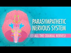 "Parasympathetic Nervous System: Crash Course A&P #15 by thecrashcourse: This week we are looking at your parasympathetic division, which is the ""resting and digesting"" unit. Unfortunately, learning about this de-stressing division also involves a whole lot of memorization. Don't worry, though - we've got some mnemonic devices to help you out! Support at: http://patreon.com/crashcourse"