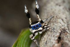 Blueface Peacock Spider