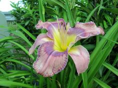 Day lily Day Lilies, My Photos, Lily, Plants, Orchids, Plant, Lilies, Planets