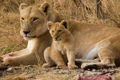 Os leões não possuem predadores naturais, embora possam ser enfrentados com sucesso por animais de maiores dimensões quando se sentem ameaçados, como búfalos e elefantes.  As leoas são excelentes caçadoras e são conhecidas por proteger os seus filhotes arriscando a própria vida, chegando a travar duelos com outros leões quando sentem que estes ameaçam as suas crias.