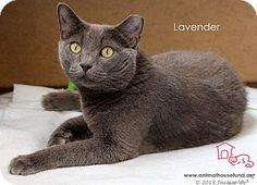 Lavender was rescued and at first considered feral. Turns out she was just scared to death, and with love and time she has really come into her own. She is a VERY sweet lovebug who likes tummy rubs, loves her chin rubbed, and looks at you with total devotion when you hit her special chin spot. She needs a human who is patient and kind-willing to give her the time she needs to adjust. Then, boy oh boy will that human have a lifelong friend.