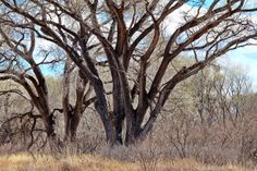 Big trees along the San Pedro River, Arizona