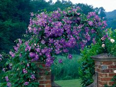 A Guide to Climbing Clematis Plants Discover the climbing clematis that will work best for your garden space with this helpful guide.