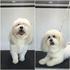 Lucy #terasgrooming #terastreats #happydog #minigoldendoodle #minidoodlelove
