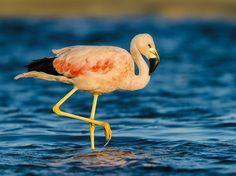 Flamingo-grande-dos-andes (Phoenicopterus andinus)