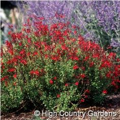 """Salvia greggii Furman's Red Texas Sage 24-36"""" x 18"""" wide  This is a wonderful selection, valued for its tightly branched, upright growth habit and profusion of dark red flowers early summer through the fall. tolerates a wide range of soils requiring only that they be quick draining. Just a bit of extra water during dry spells encourages more flower.  This is a woody, evergreen shrub in mild winter Zones 6-10."""