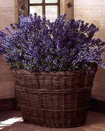 Basket of Lavender. How beautiful is that, love the blue of the lavender, very vibrant