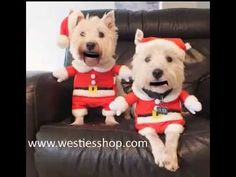 Santa Westies Sing Jinggle Bells - West Highland White Terrier