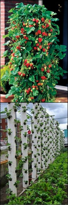 How To Make Your Own Vertical Strawberry Planter http://theownerbuildernetwork.co/vtxs Want to grow strawberries but don't have the space in your garden? Why not make this vertical planter? Have we got your green thumbs itching?