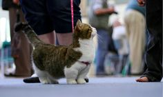 munchkin cat - because we have one :)
