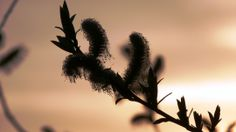Weidenkätzchen im Abendlicht