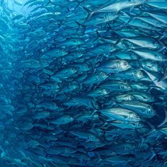 Photograph by @thomaspeschak This gigantic constantly shape shifting school of jacks/trevally inhabits the rich waters of the Cabo Pulmo…
