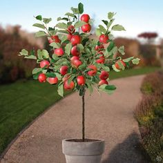 Apple tree Elstar 150/175 cm - 1 tree