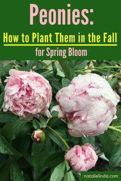 Learn how to plant and care for peonies, and why you should plant peony bulbs in the Fall for Spring bloom!