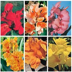(Limited Supply) Click Image Above: Canna Collection, Tropical Flair Special Canna Bulbs, Bulbs For Sale, Plants Online, Wonderful Things, Garden Projects, Garden Plants, Tropical, Image, Collection