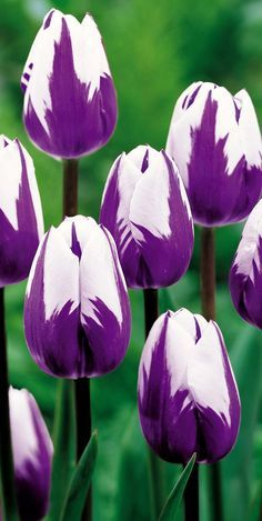 Flowers And Garden Ideas : Love tulips. Purple Tulips, Tulips Flowers, Flowers Nature, Pansies, Daffodils, Pretty Flowers, Spring Flowers, White Tulips, White Flowers