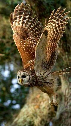 I never get tired of seeing owls in flight.