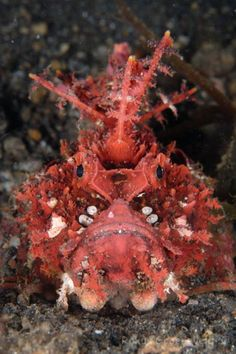 Scorpion fish (Inimicus didactylus) aka Bearded ghoul Spiny devilfish