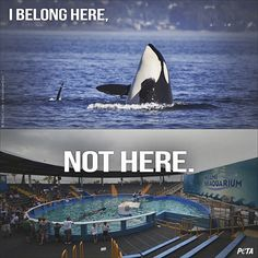 Peta, Antibes, Orcas In Captivity, Save Animals, Wild Animals, Killer Whales, Sea World, Endangered Species, Stop Animal Cruelty