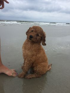 7 Best Goldendoodle Beach Love: mydoodollie images in 2018