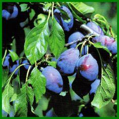 Zwetschgen, die saftigen Früchte im Spätsommer Ficus, Garden Mulch, Blueberry, Fruit, Vegetables, Strawberry Tree, Fig Tree, Crop Protection, Plant Parts